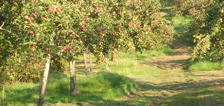 Cholesterol reducing cider apples