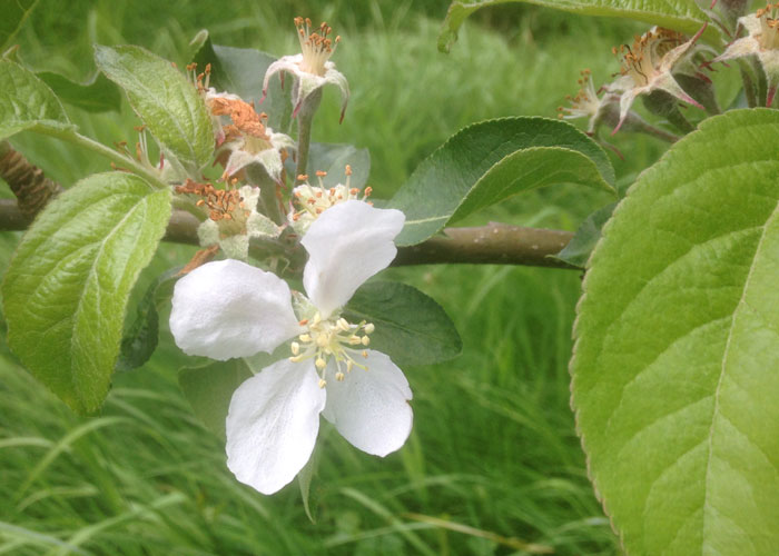 Blossom on apple trees in 2018